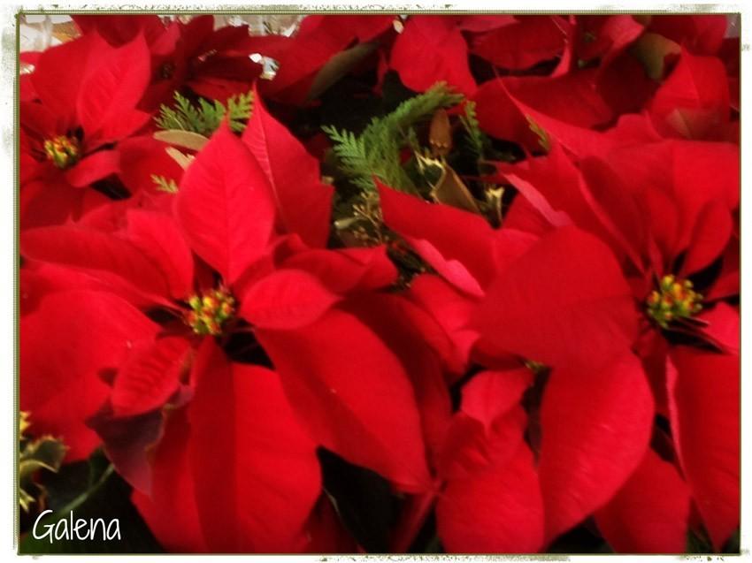 Navidad-Christmas-Nochebuenas-la-flor-de-nochebuena-1
