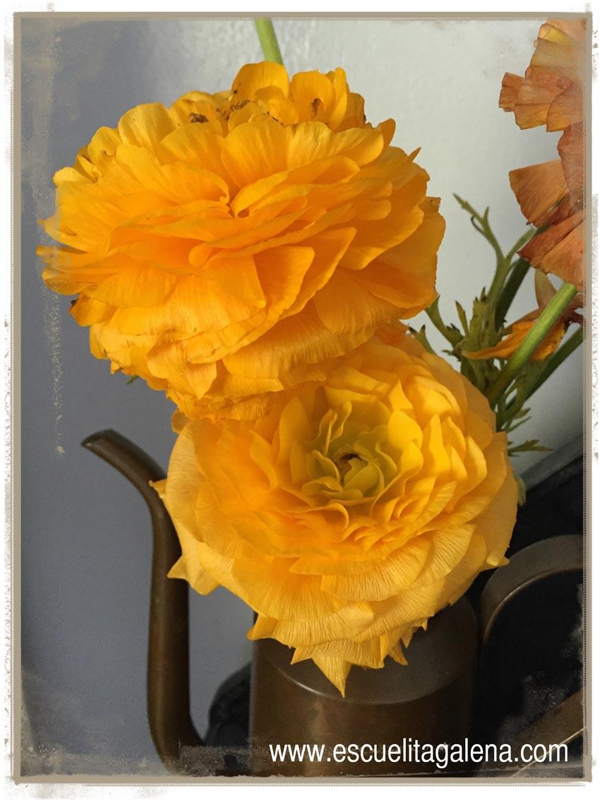 renacula-amarilla