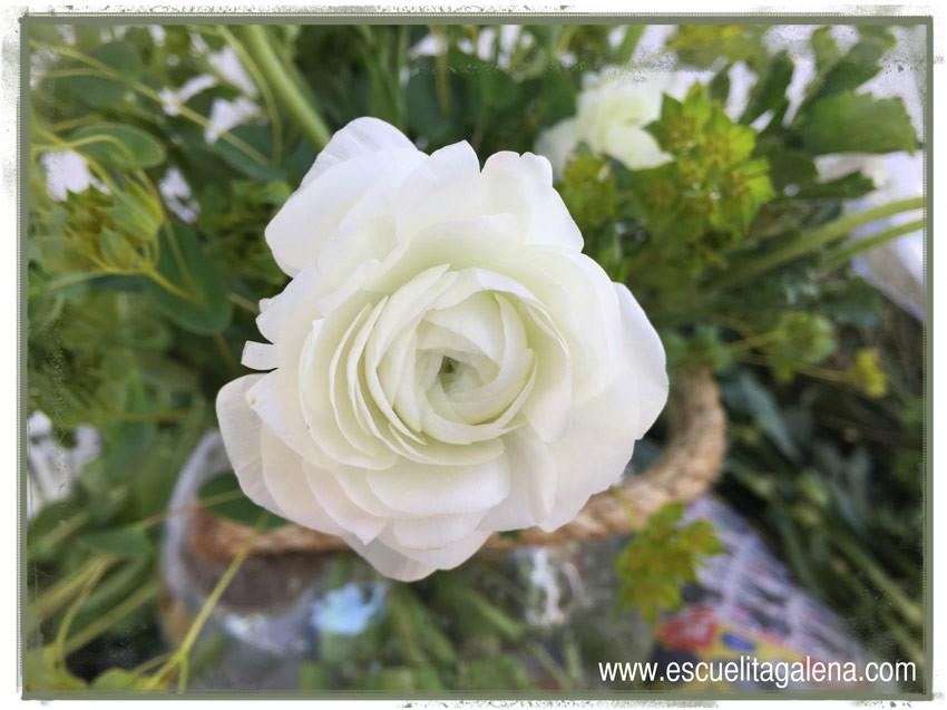 renacula-blanca
