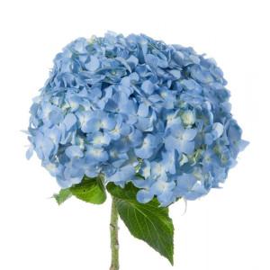aa-hortencia-azul