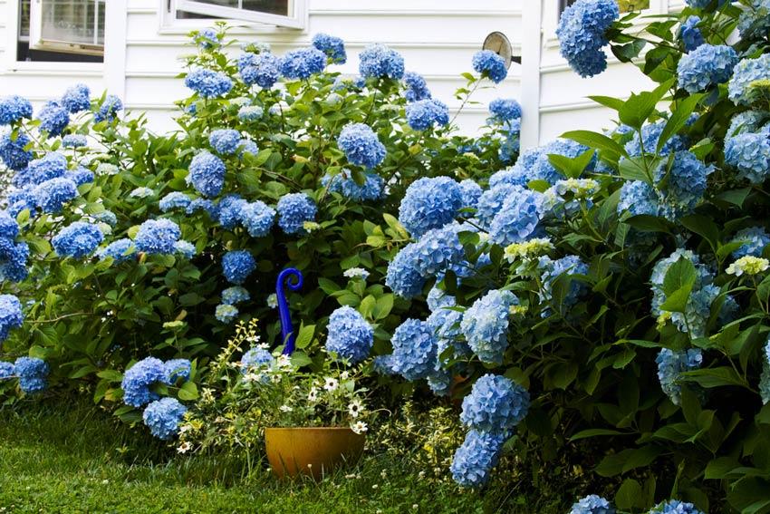 aa-jardin-con-hortencia-azul