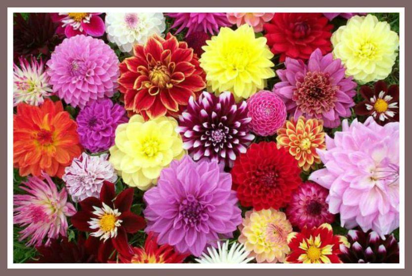 dahlias de colores