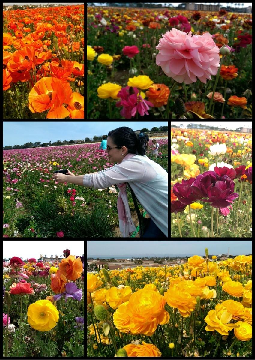 renaculas de colores en los campos de Carlsbad, CA