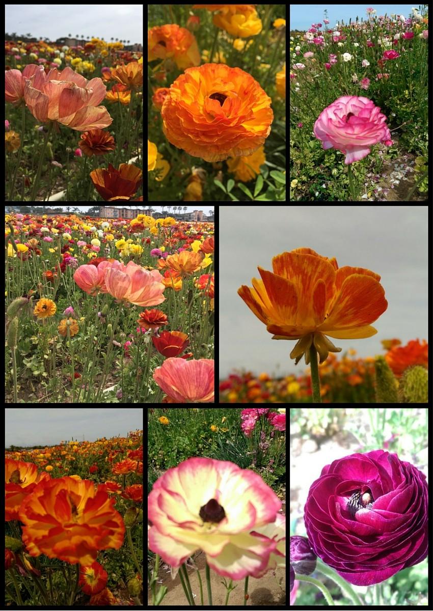 renaculas de todos colores en los campos de Carlsbad