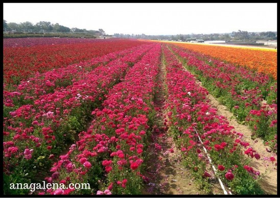 visiting the flower fields in Carlsbad