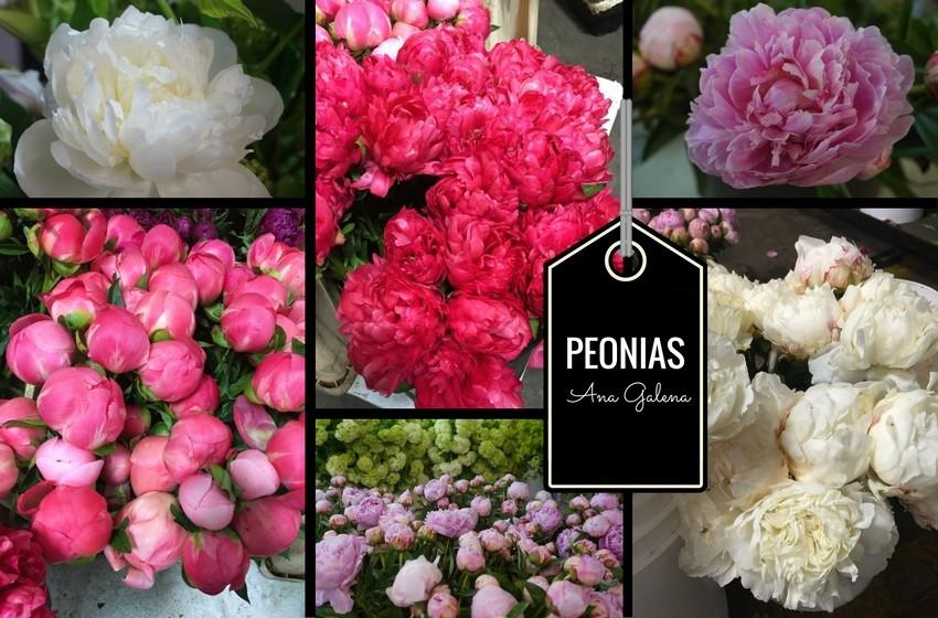 peonias-4