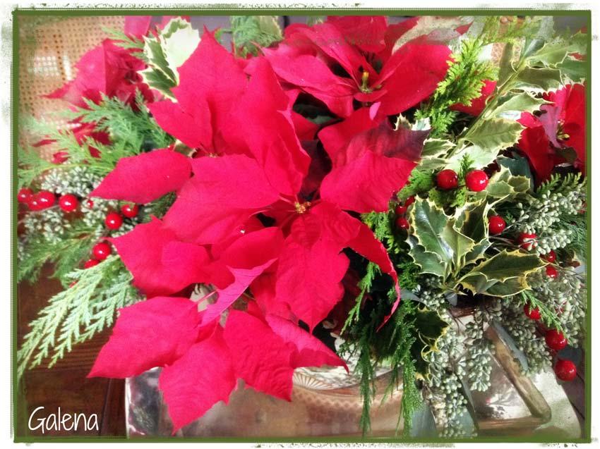 Navidad-Christmas-Nochebuenas-la-flor-de-nochebuena-2