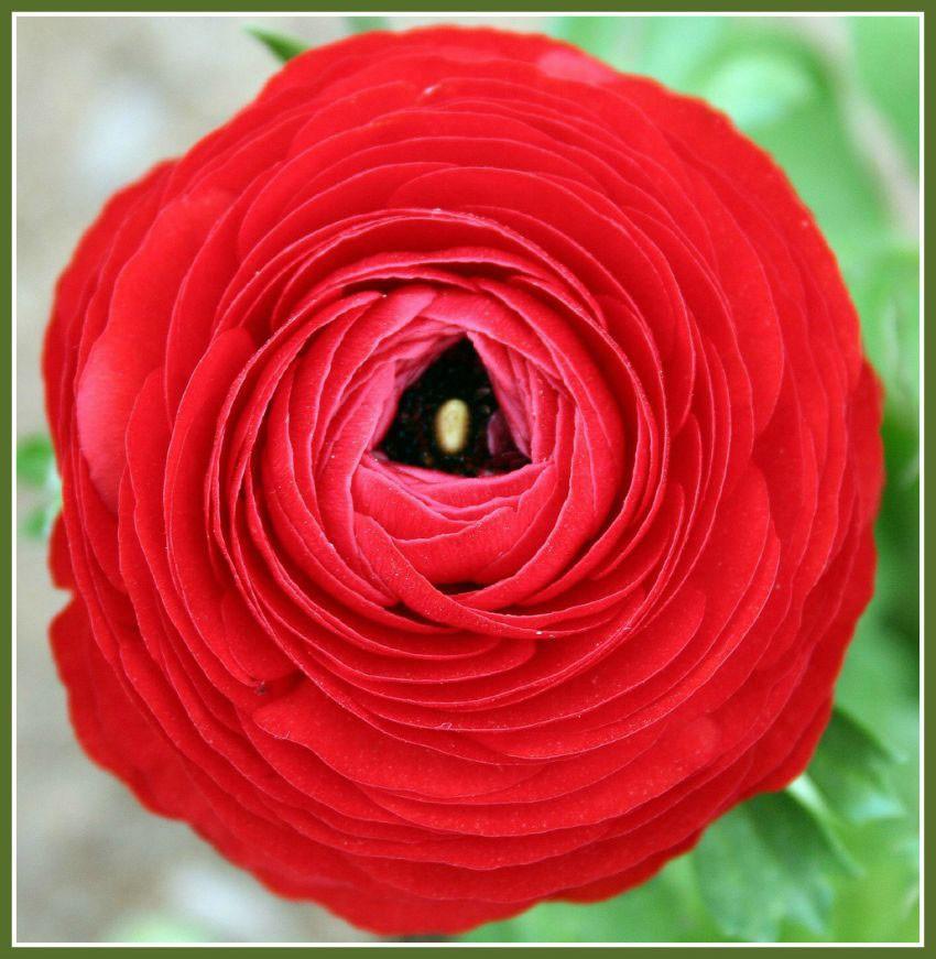 renacula-roja