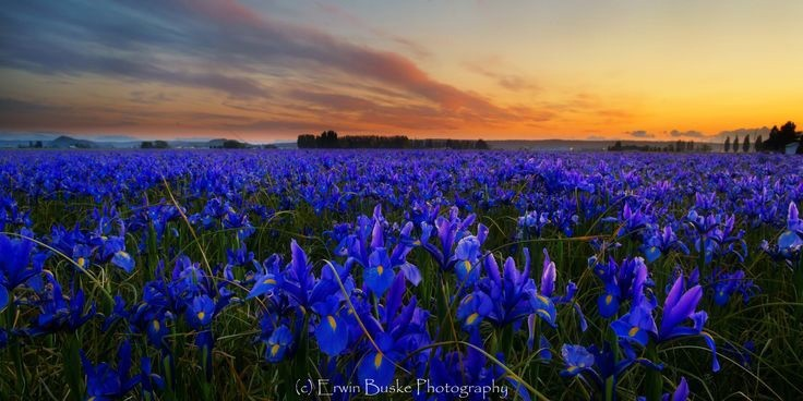 aa-blue-iris