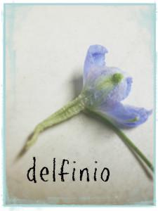 aa-delfinio-delphinium