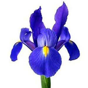 aa-iris