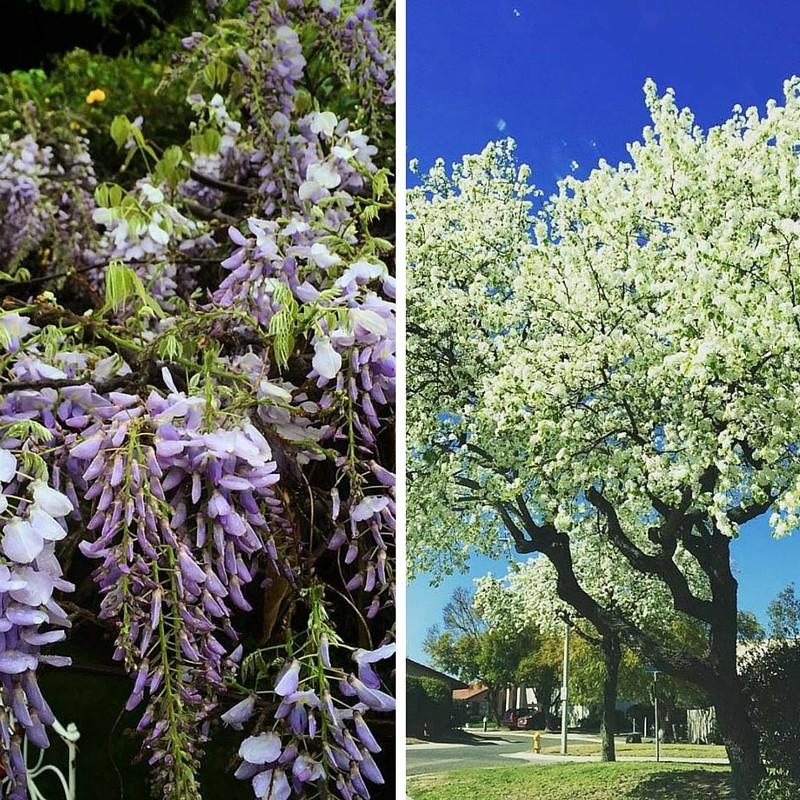 De mis favoritos es encontrarme con los árboles de pera y ver florecer las wisterias en la ciudad de Tijuana.