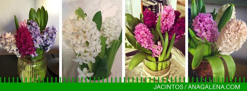 Dale click en el link para conocer el aromático mundo de los jacintos