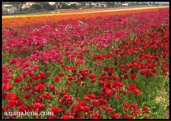 campos de renanculus en Carlsbad