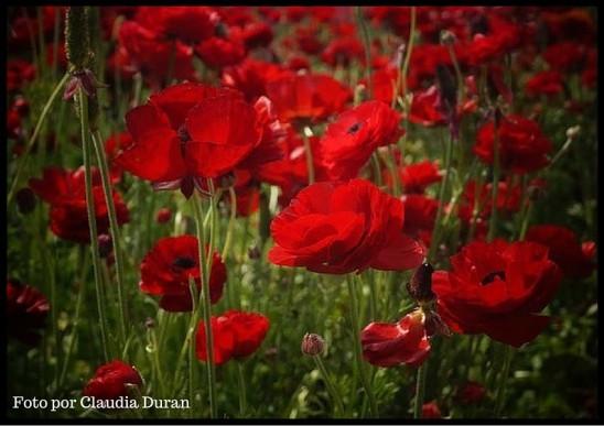 renanculus rojos