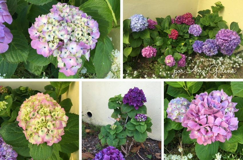 hortensias-de-mi-jardin